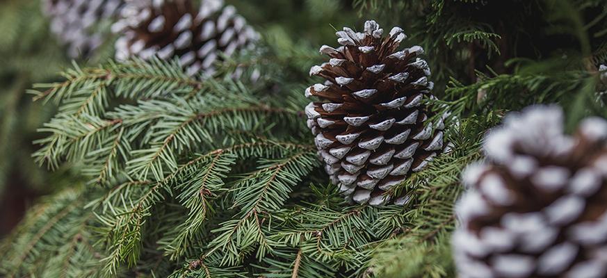 Huile de pin concentré